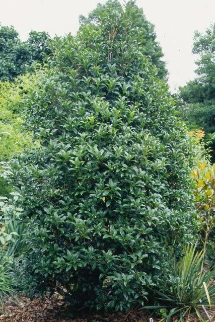 osmanthus fragrans sweet olive