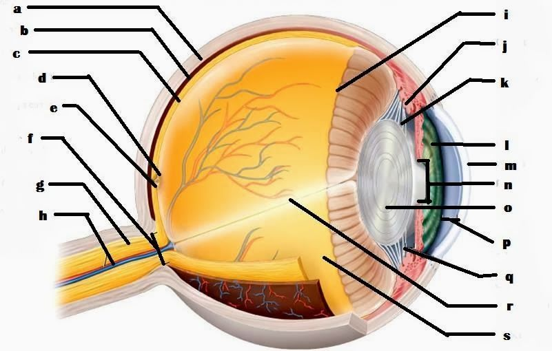 Blank Eye Diagrams Blank Eye Diagram Eyeball School Pinterest