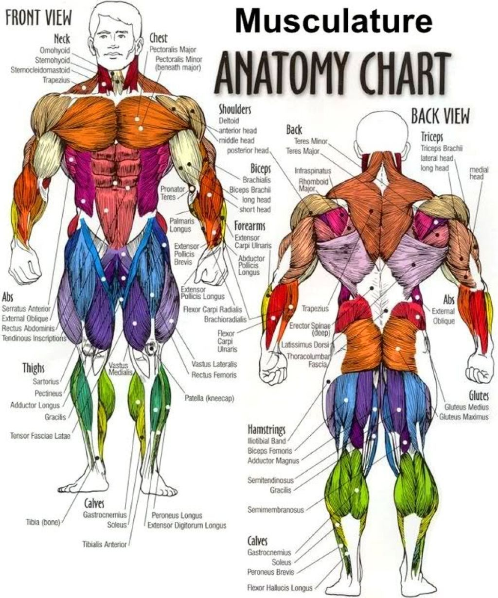 Muscle Anatomy Worksheet Tag Body Muscles Diagram