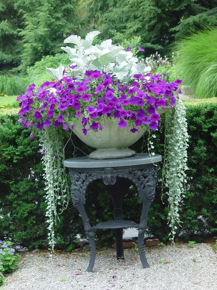 Purple Petunias Dusty Miller And Silver Falls Dichondra In A