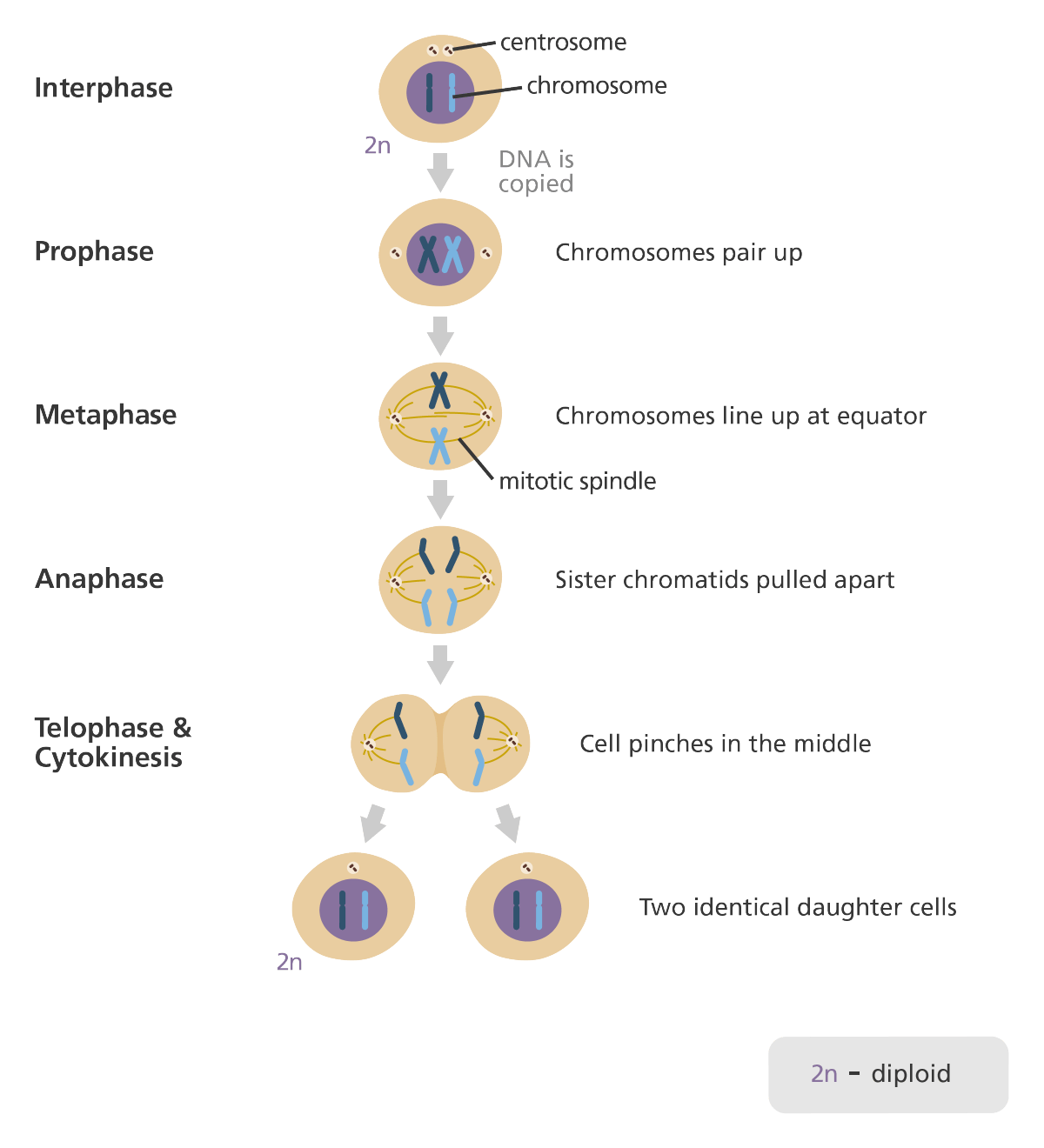 steps of meiosis diagram 1997 jeep wrangler parts what is mitosis homeschool and school