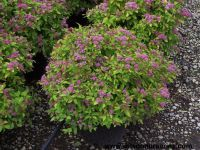'Magic Carpet' spirea (Spiraea japonica 'Walbuma'), a ...