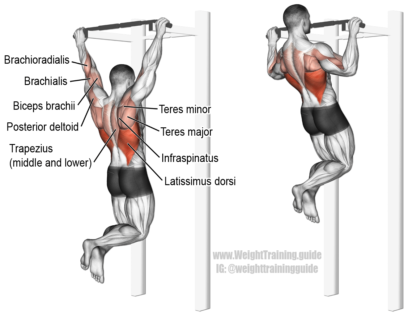 Pullup A Major Compound Pull Exercise Main Muscles