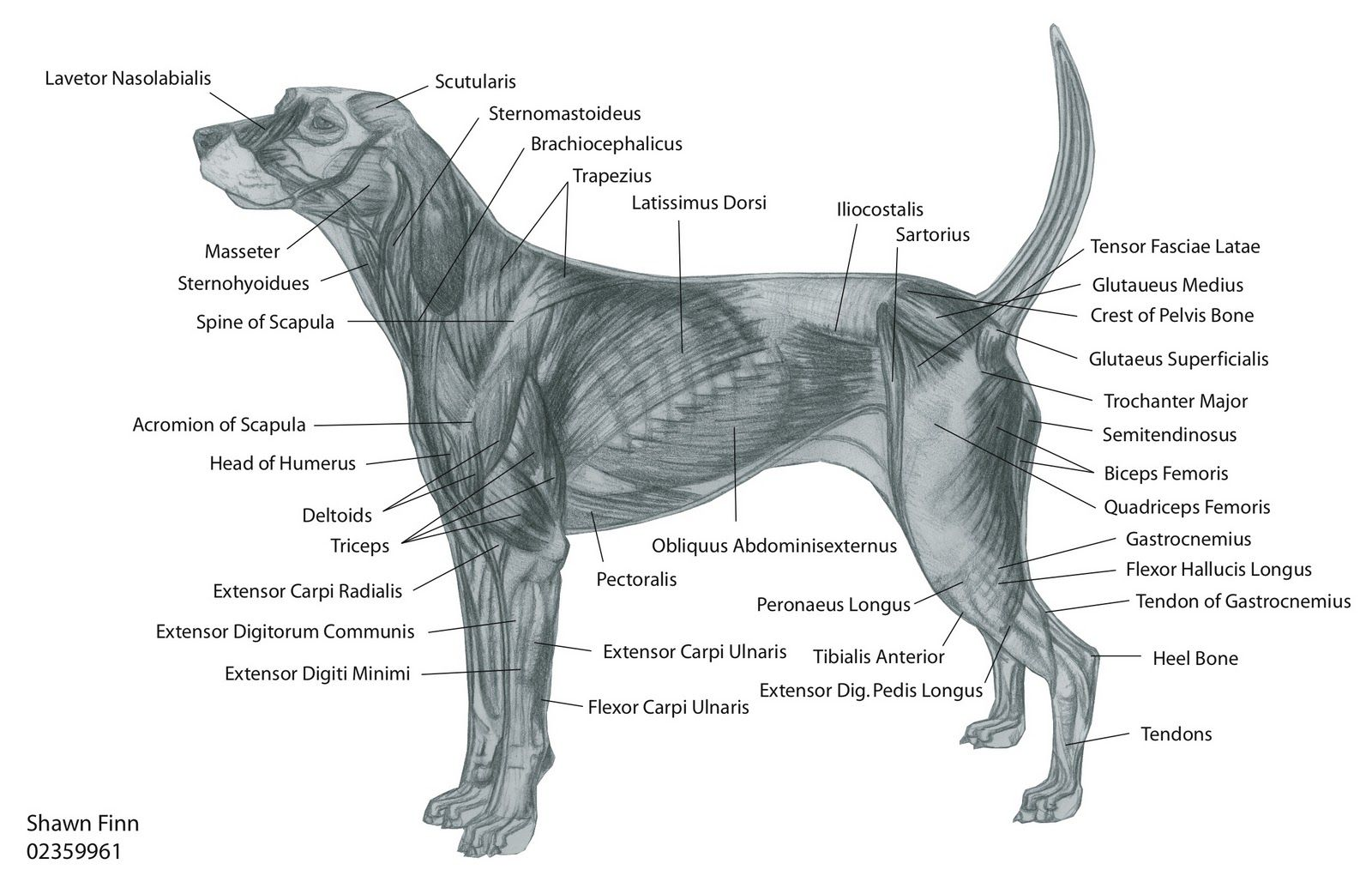 dog diagram outline large pioneer deh p2500 wiring canine muscular anatomy muscles http www