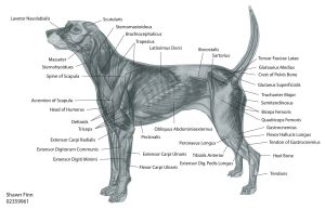canine muscular anatomy | Dog Muscles Diagram http:www