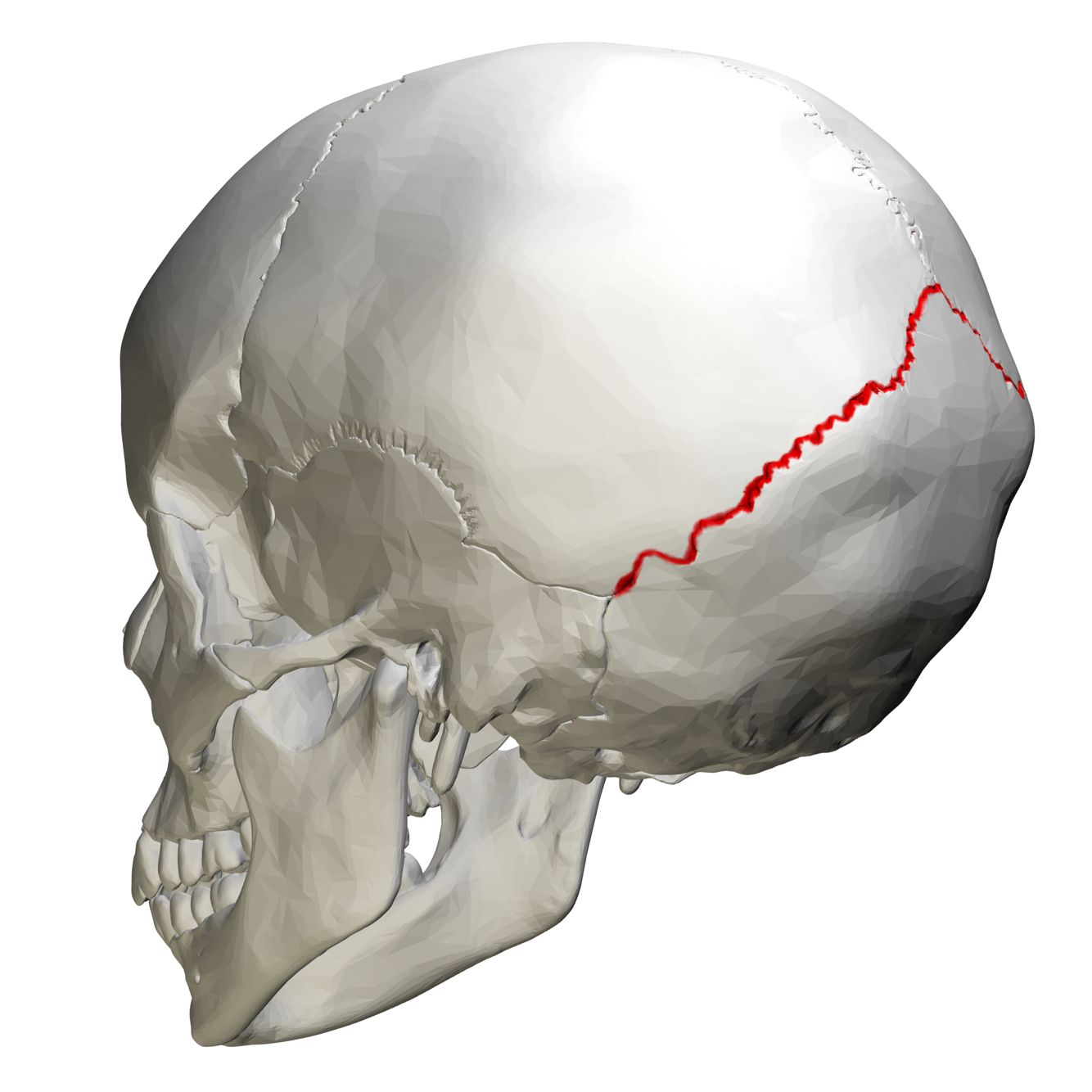 Lambdoid Suture Articulate Parietal Bones With Occipital