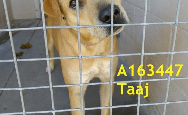 Pinal County Animal Shelter Animals Need You Euth Listed 01 15 15 My Name Is Taaj Neutered Male