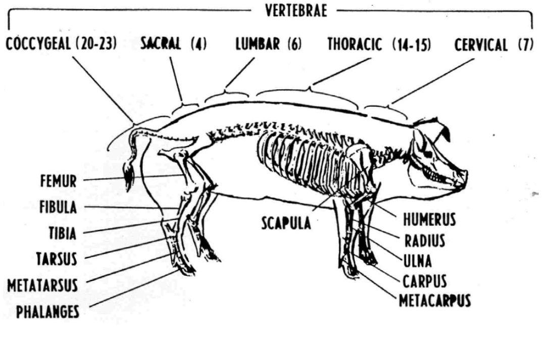 Bull Reproductive Anatomy Diagram