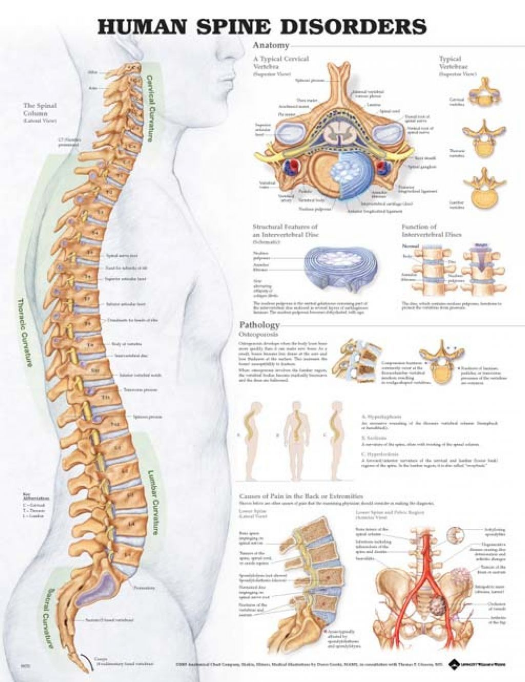 Diagram Of Human Spinal Cord Spinal Cord Diagram Labeled Anatomy Human Body