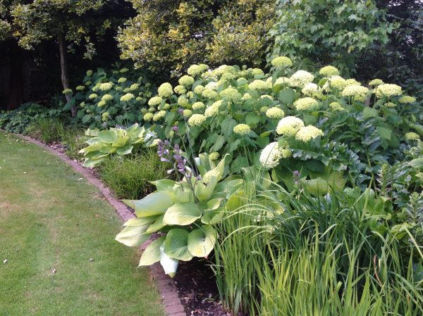 hydrangea anabelle with hosta sum