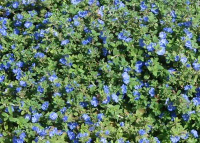 Full sun blue daze amazing flowering ground cover drought resistant also best gardening images on pinterest garden plants and