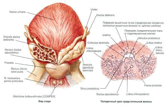 Prostate Bladder Ultrasound