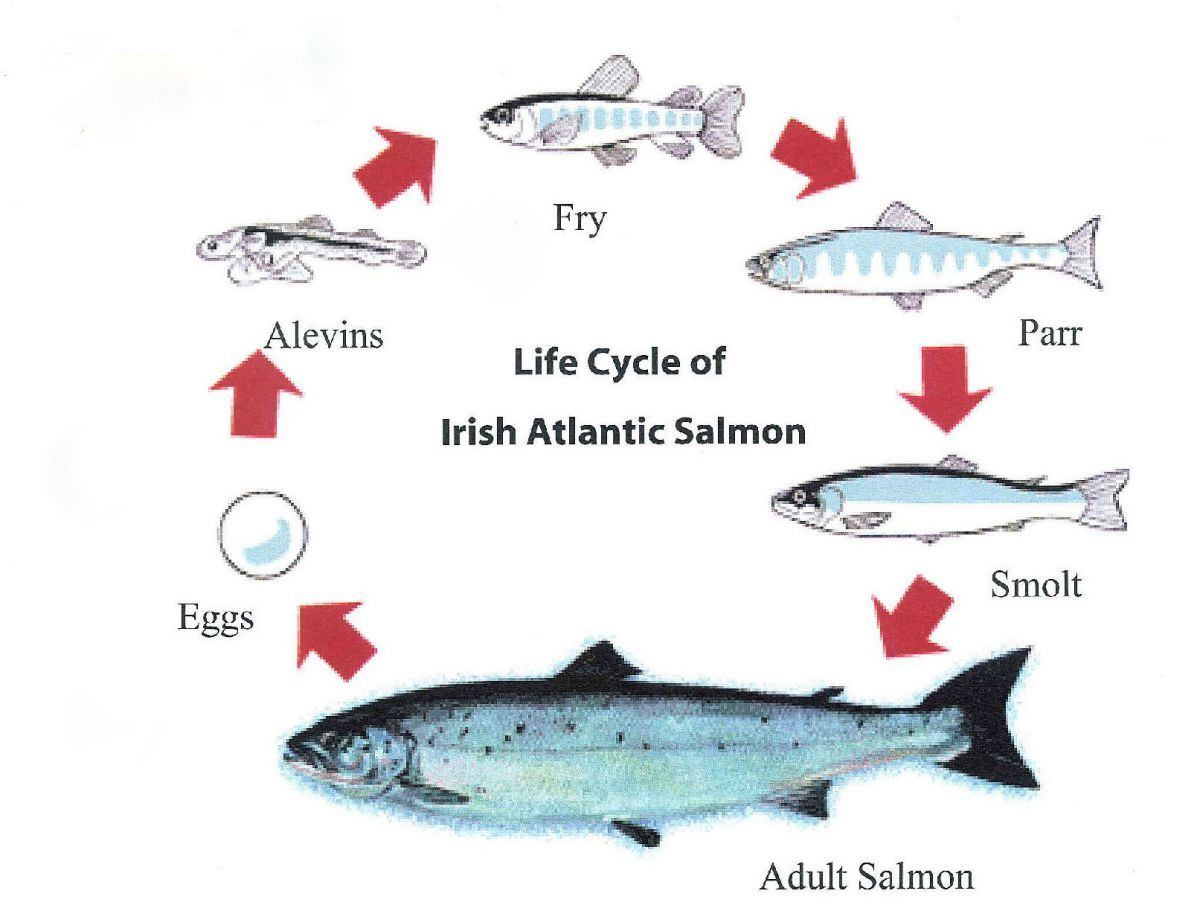 Salmon Life Cycle