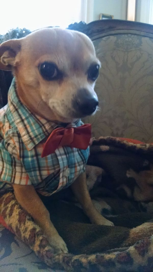 Little Guy Hipster Halloween Group Chihuahuas - Dog Breed Dogs