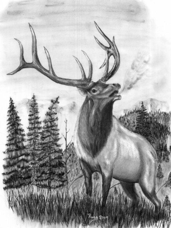 Bull Elk Head Drawings