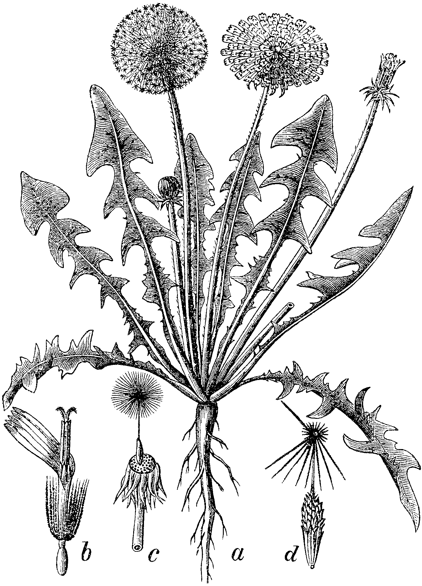 Black And White Drawing Of Dandelion Leaf And Flower