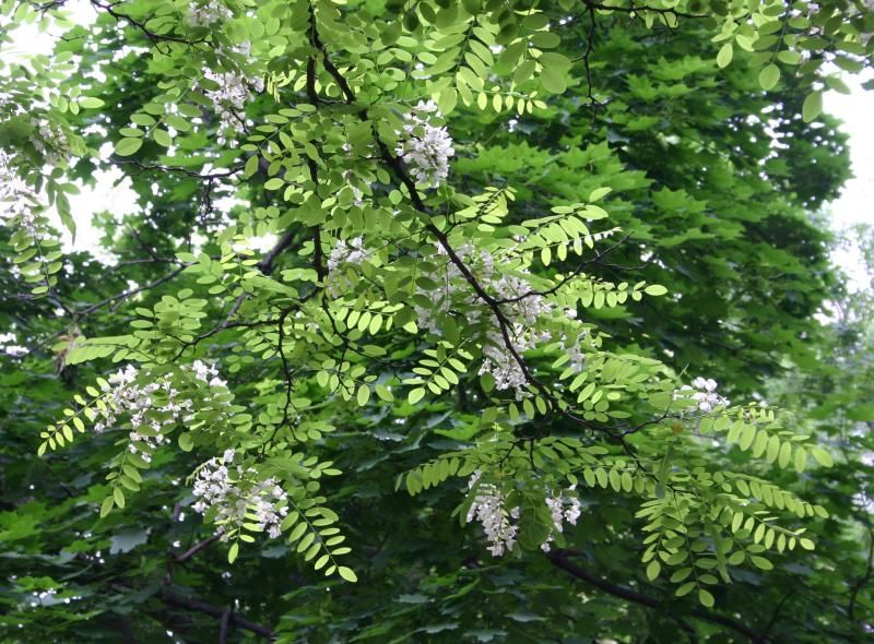 LOCUST TREE One Of The Three Main Honey Plants In WV