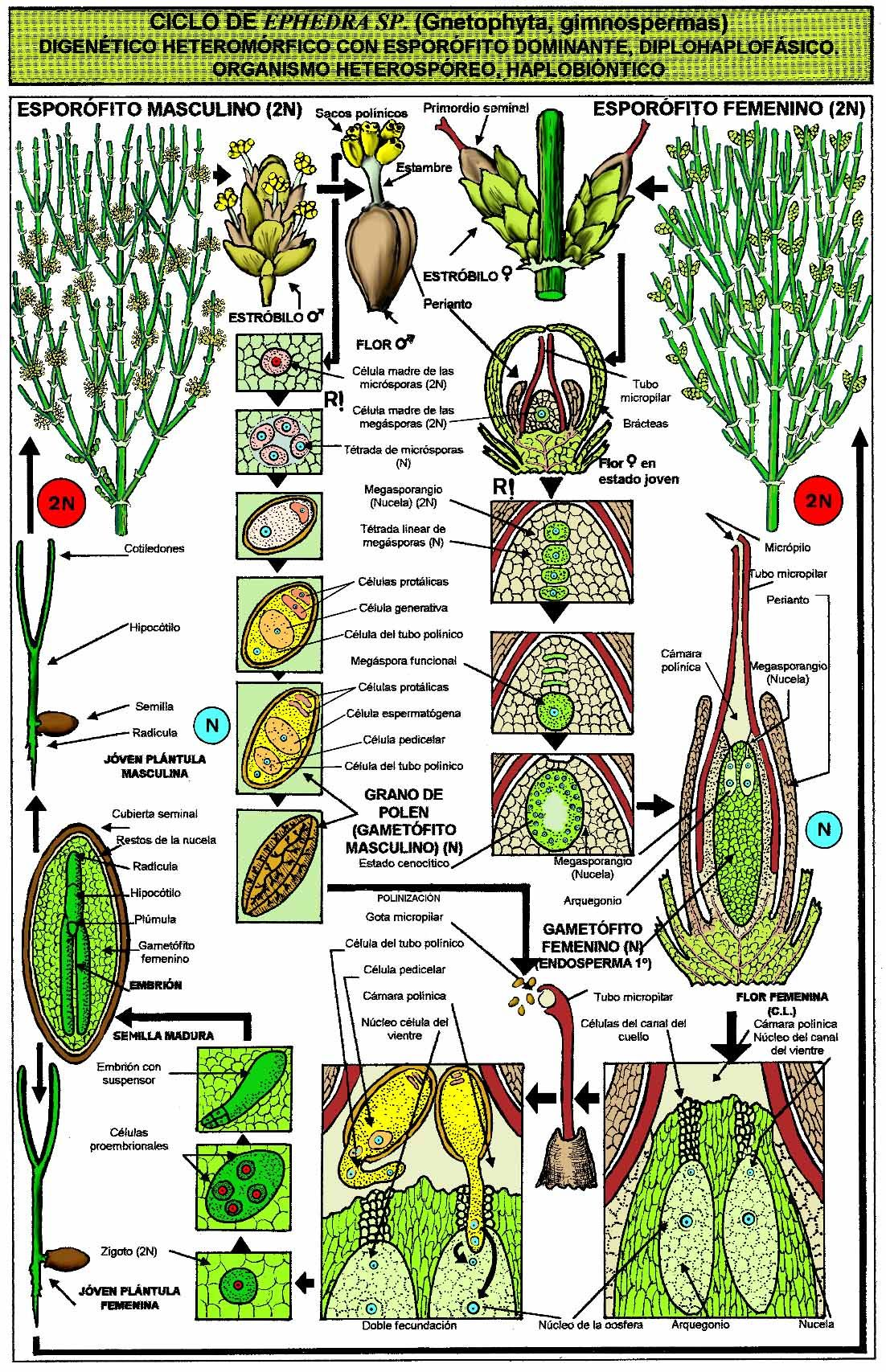 horsetail plant diagram electrical wiring diagrams 2 way switch ephedra sp gnetophyta jpg 11021707 ciclos de vida