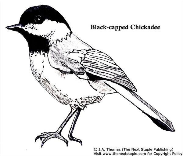 Chickadee Colouring Page Preschool Bird Theme