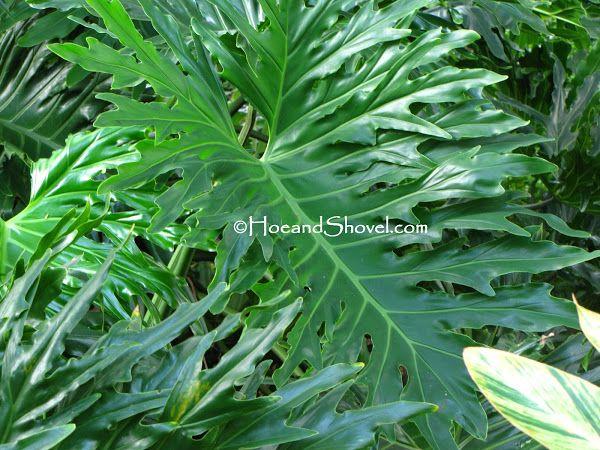Tall Big Leaf Outdoor Plants
