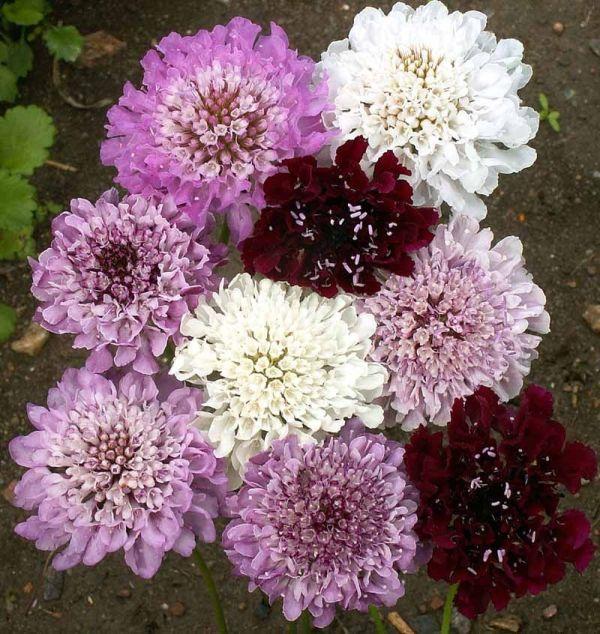 ScabiosaPincushion Flower Imperial Mix Scabiosa