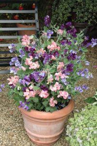 Sweetpeas in pots for entrance | garden ideas | Pinterest ...