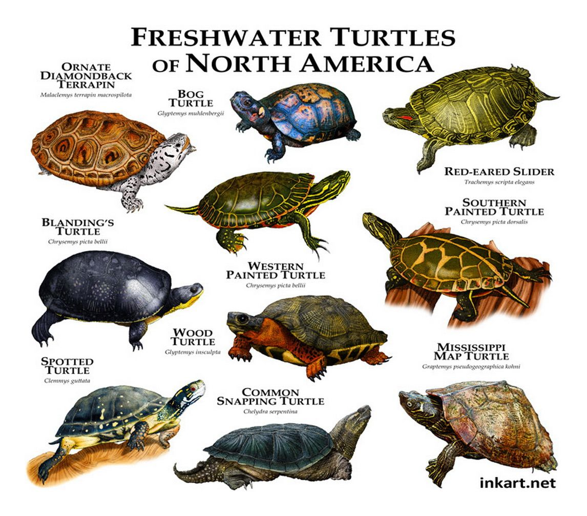 Types Snapping Turtles