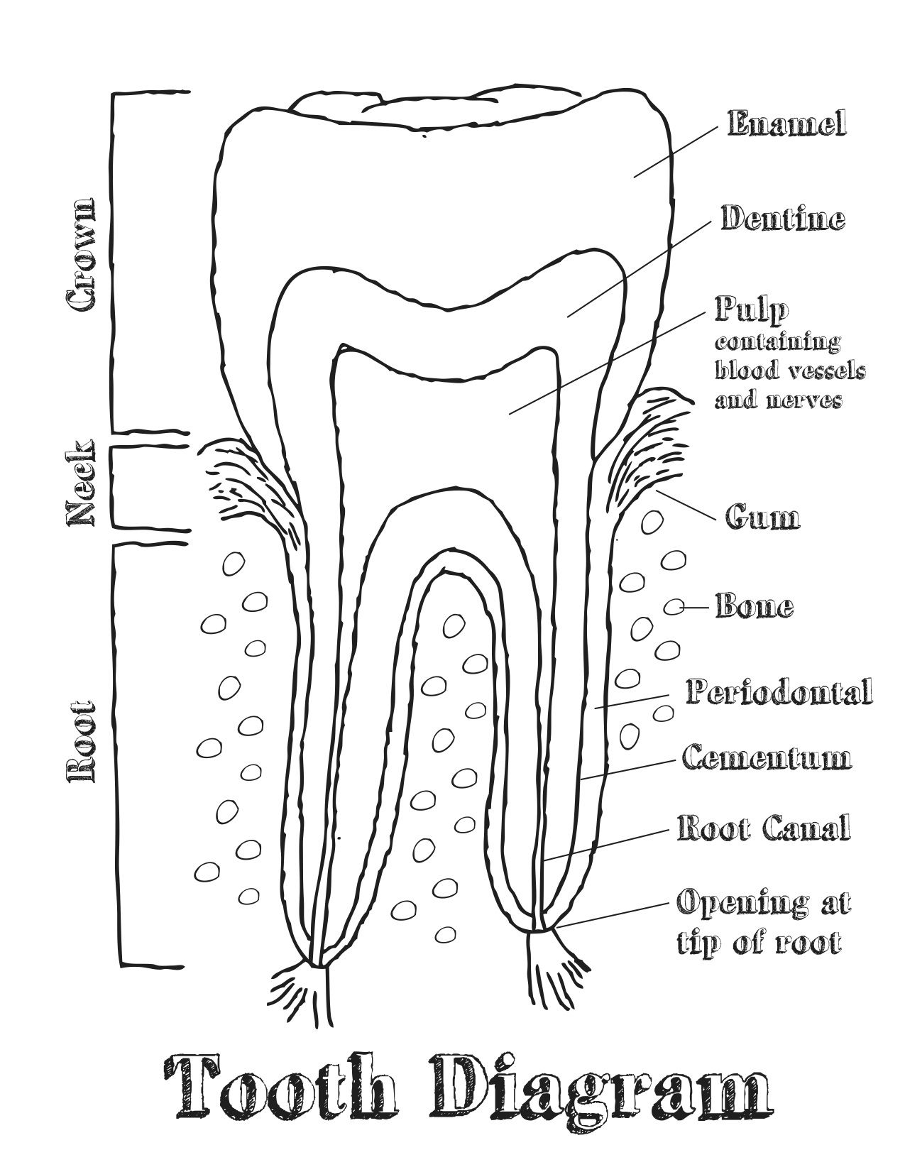 Dental Tooth Chart Diagram