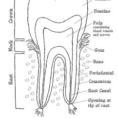Tooth Layout Diagram 2007 Jeep Commander Fuse Box Dental Chart Yahoo Image Search Results