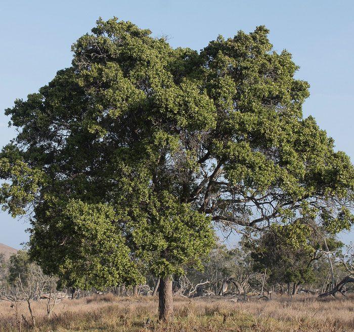 Sandal tree的圖片搜尋結果