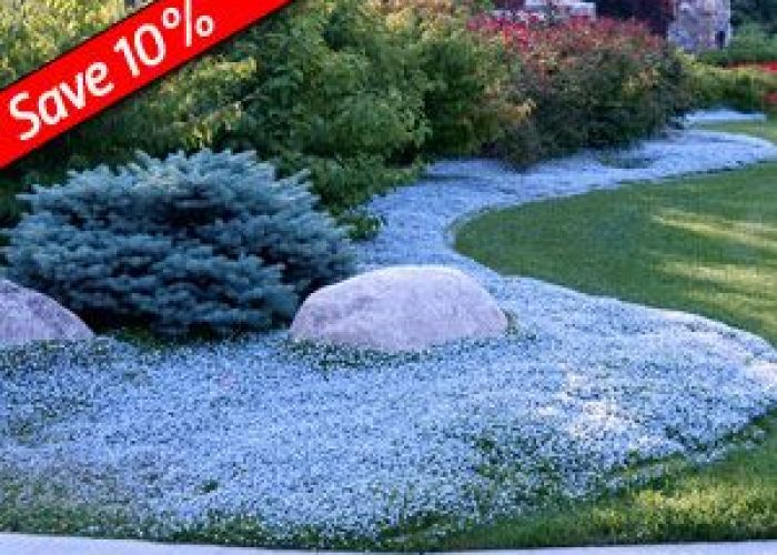 Isotoma fluviatilis fast growing ground cover for sun to part shade tolerates heavy foot traffic also