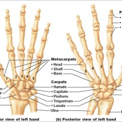 Wrist And Hand Unlabeled Diagram Chevron Powerpoint Bone Photos Human Right Structure