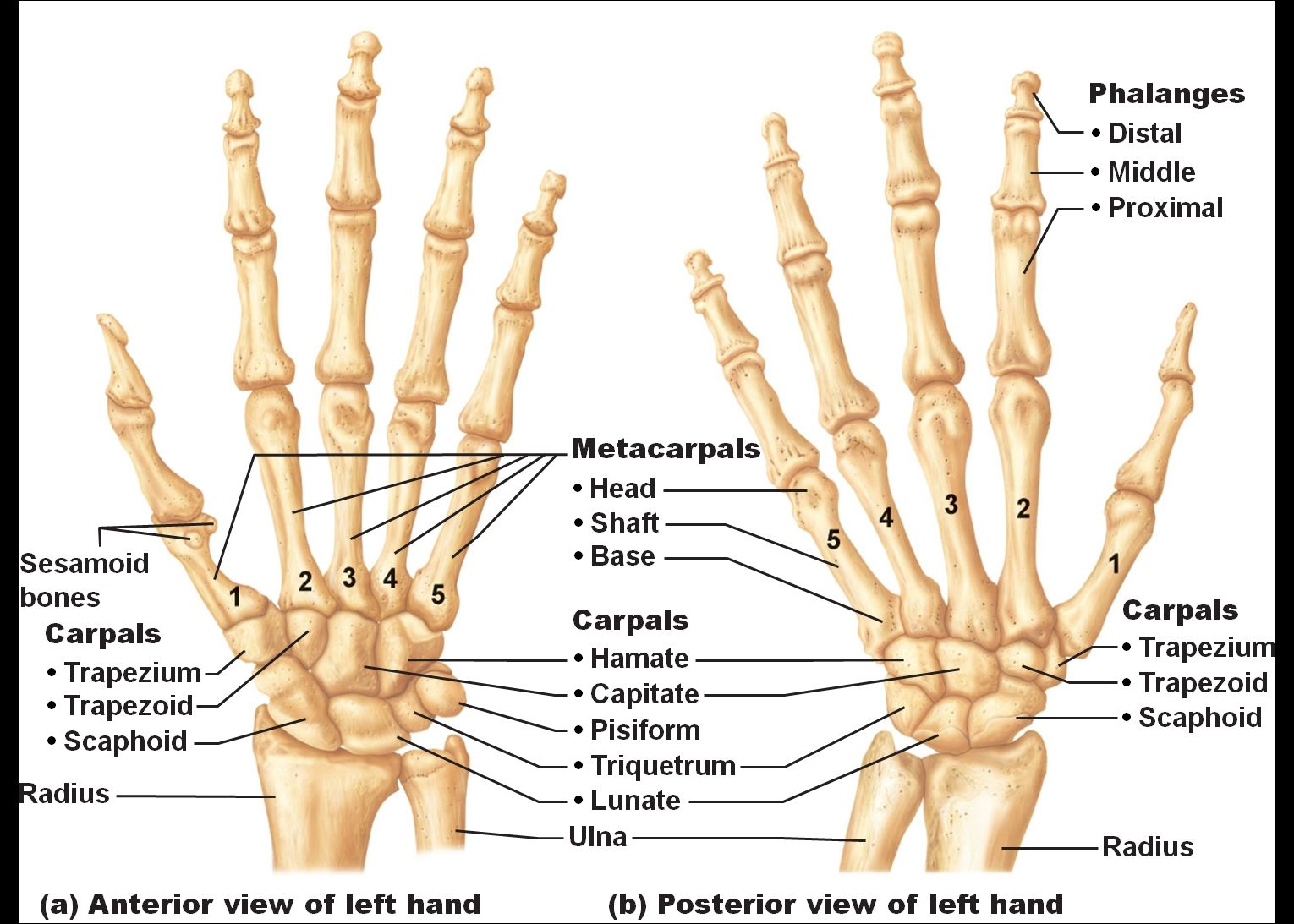 wrist and hand unlabeled diagram aus trailer plug wiring bone photos human right structure