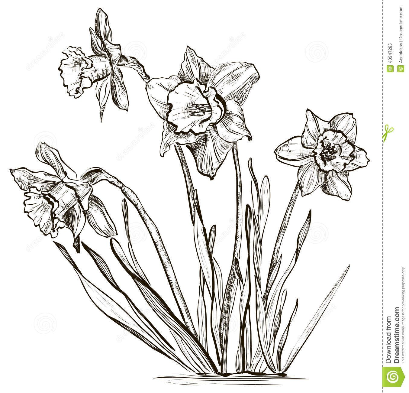 Images For Gt Narcissus Flower Drawing