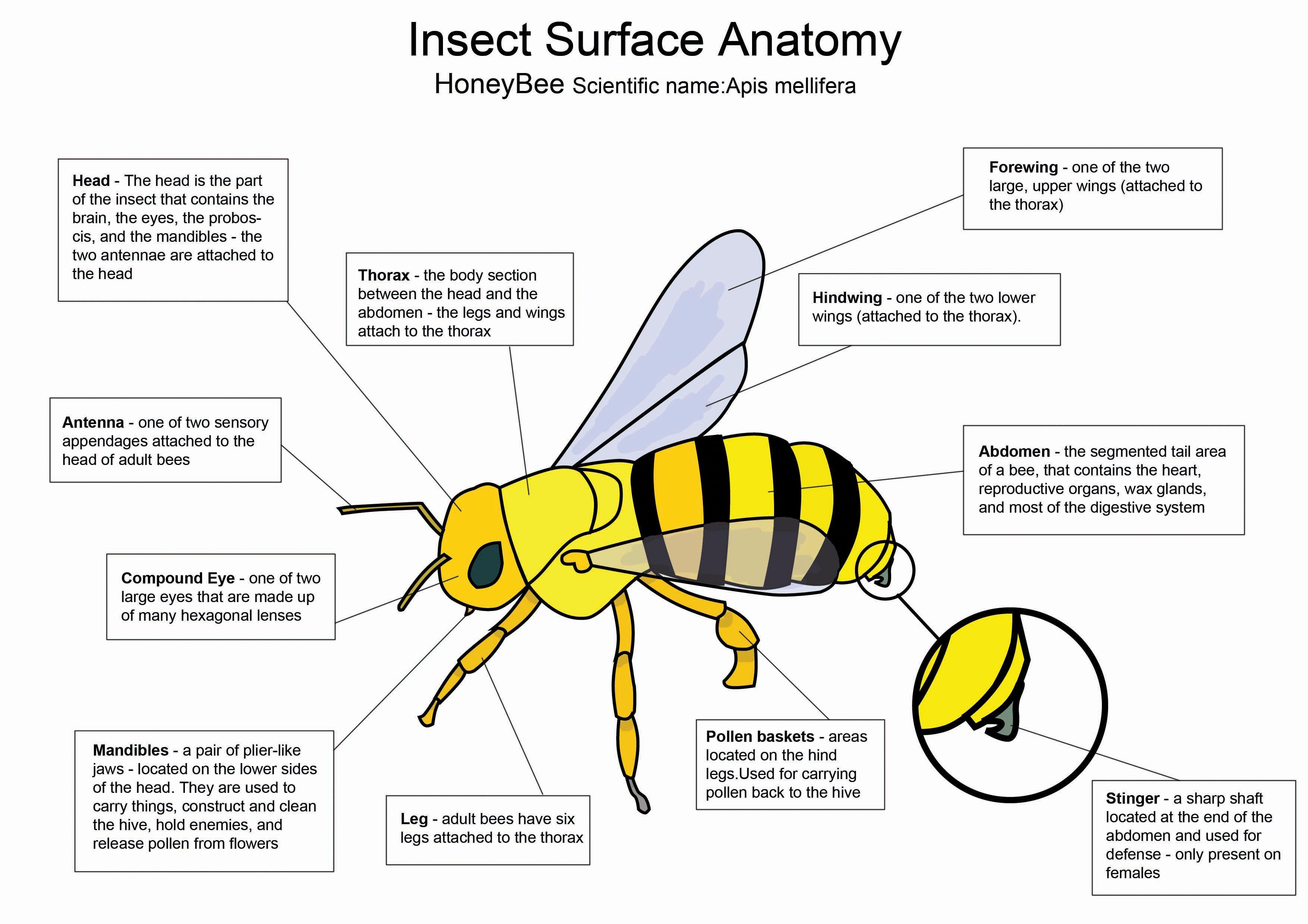 Honey Bee Diagram By Crazyhoboviantart On