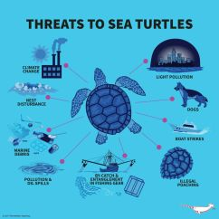 Sea Turtle Life Cycle Diagram International 454 Tractor Wiring Infographic Turtles Pinterest