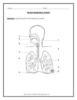 Respiratory System: Diagram to Label with Data Table