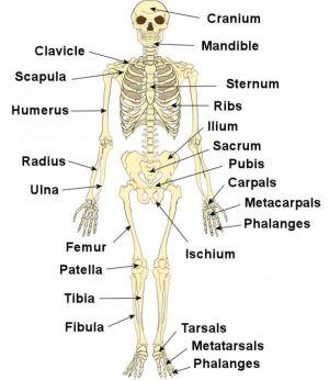 Labeled Human Skeleton Human Skeleton Label – Human Body Diagram   science   Pinterest   Human