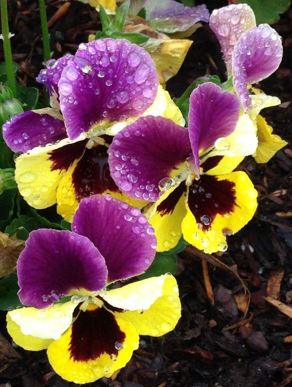 pansies colors