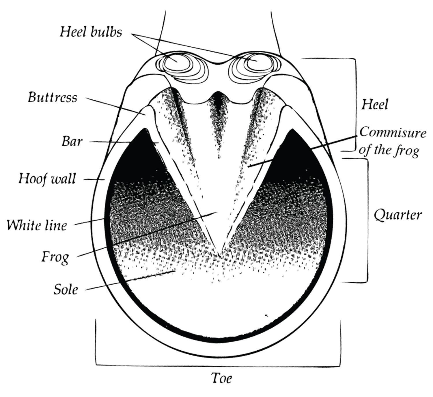 Diagram Of The Parts Of The Equine Hoof Showing Heel