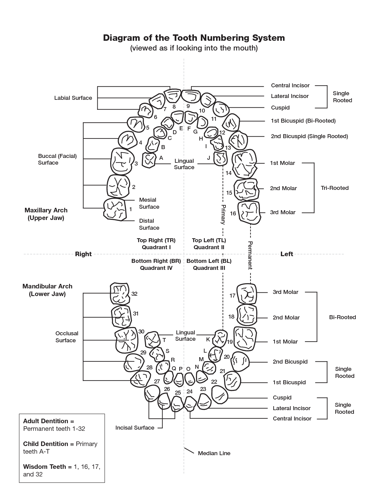 Tooth Numbering Chart