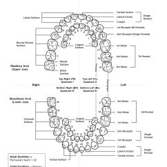 Teeth Names Diagram Door Frame Tooth Numbering Chart Pdf Scope Of Work Template
