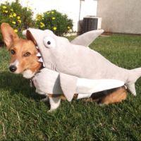 corgi costumes - Bing Images | Corgies | Pinterest | Corgi ...
