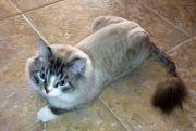 ragdoll cat lion haircut animals