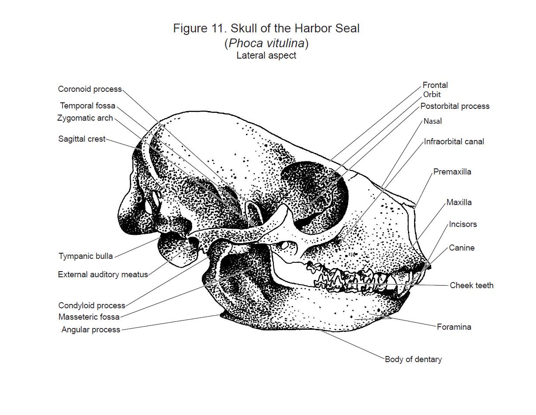 Harbour Seal Skull By Flutterguy