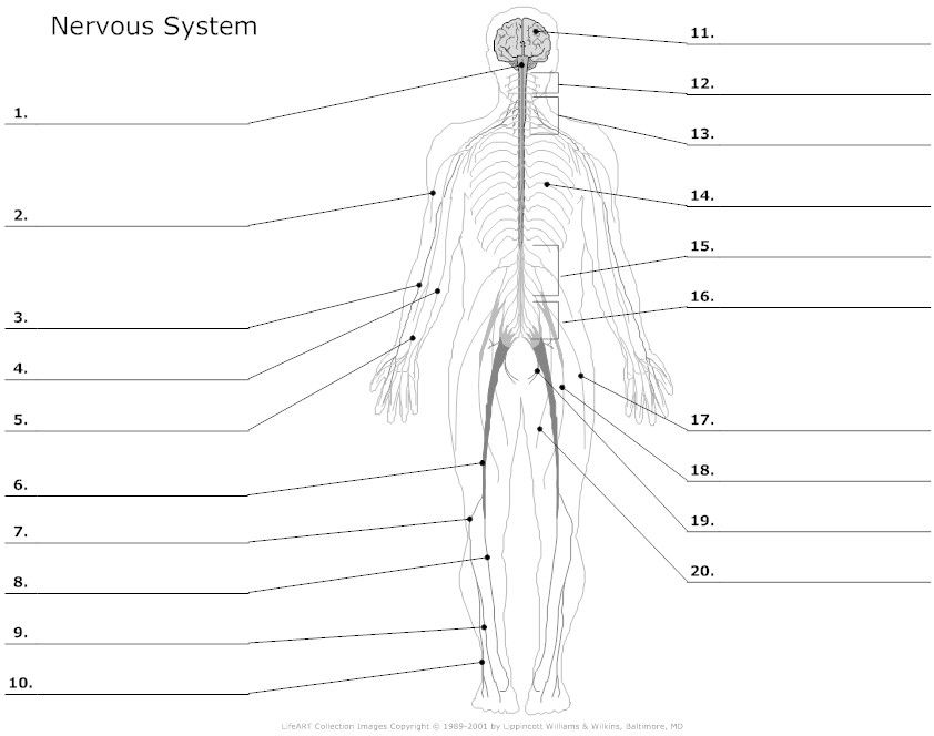 Printables. Nervous System Worksheet. Lemonlilyfestival