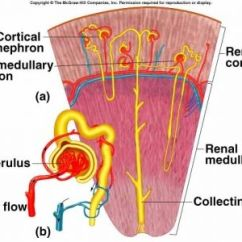 Nephron Diagram From A Textbook Wiring Freeware Cortical - Google Search | Anatomy/physiology Pinterest