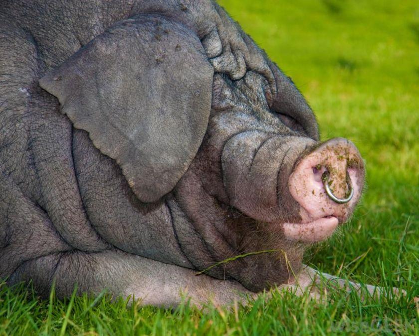 Image result for hog rings