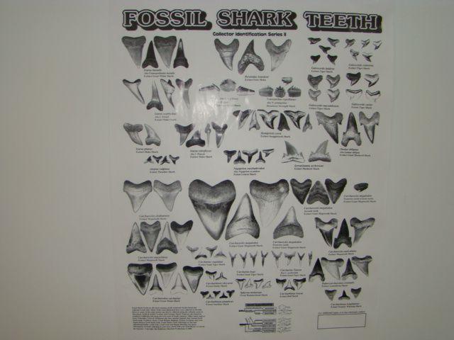 Shark Teeth Chart