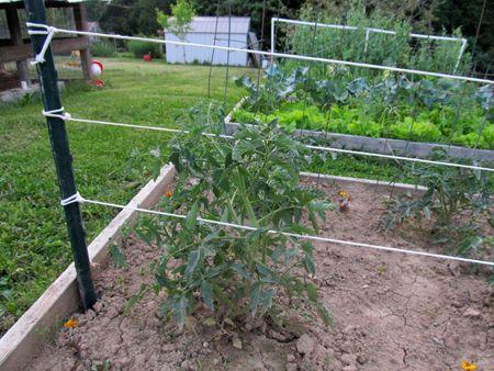 GardenDesk Tomato Support Garden Pinterest Just Florida
